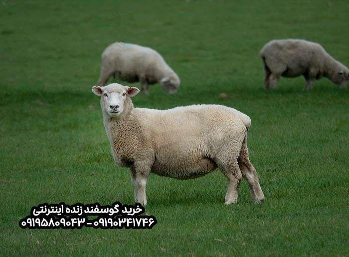 خرید گوسفند اینترنتی