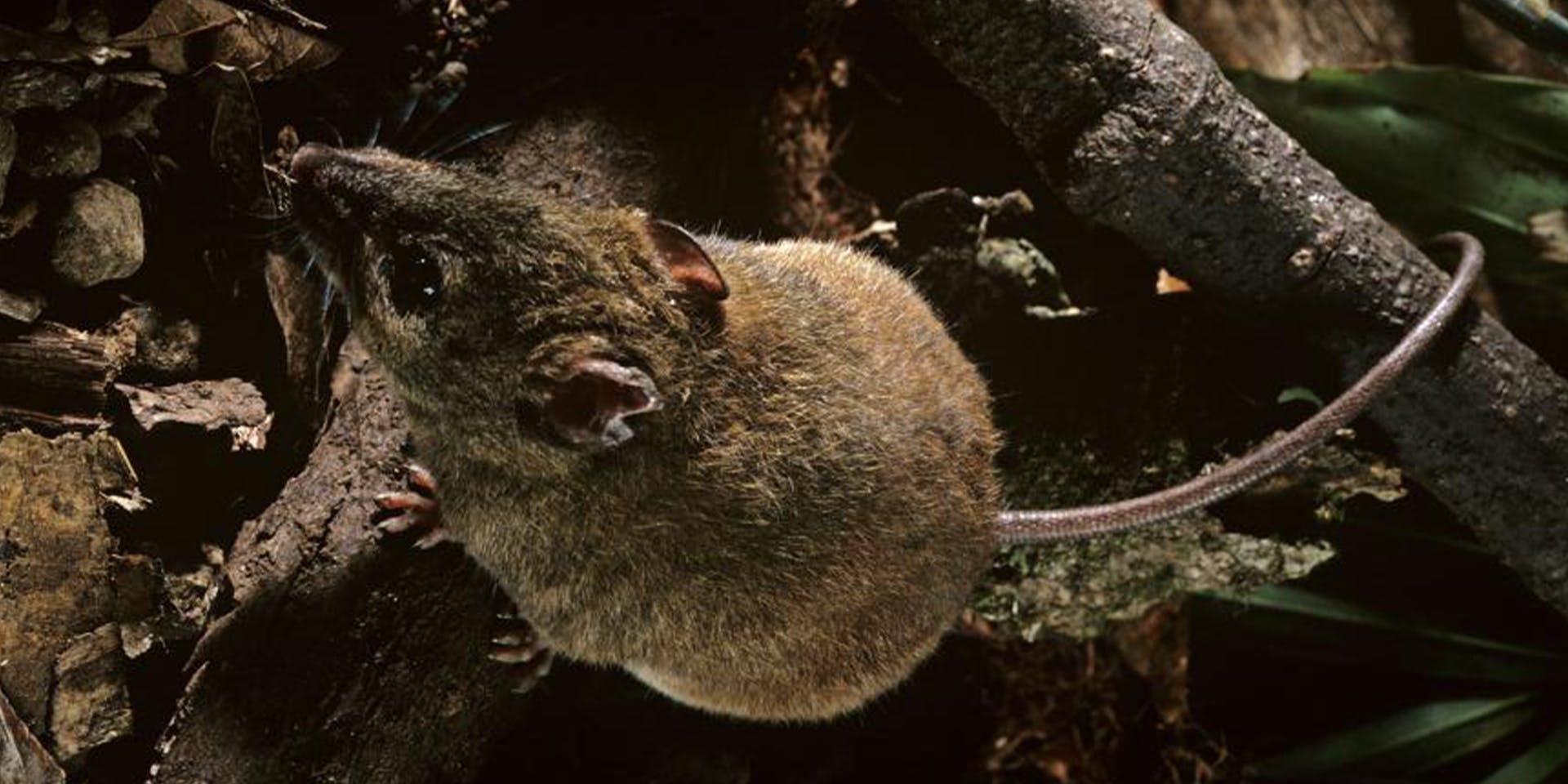 پستاندار کوچک به نام Bramble Cay که شبیه به موش است