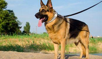 سگها از انسانها آزمایش کووید-۱۹ میگیرند