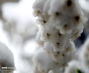 شکوفه های بهاری در برف