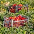 گوجه فرنگی ارزان شد