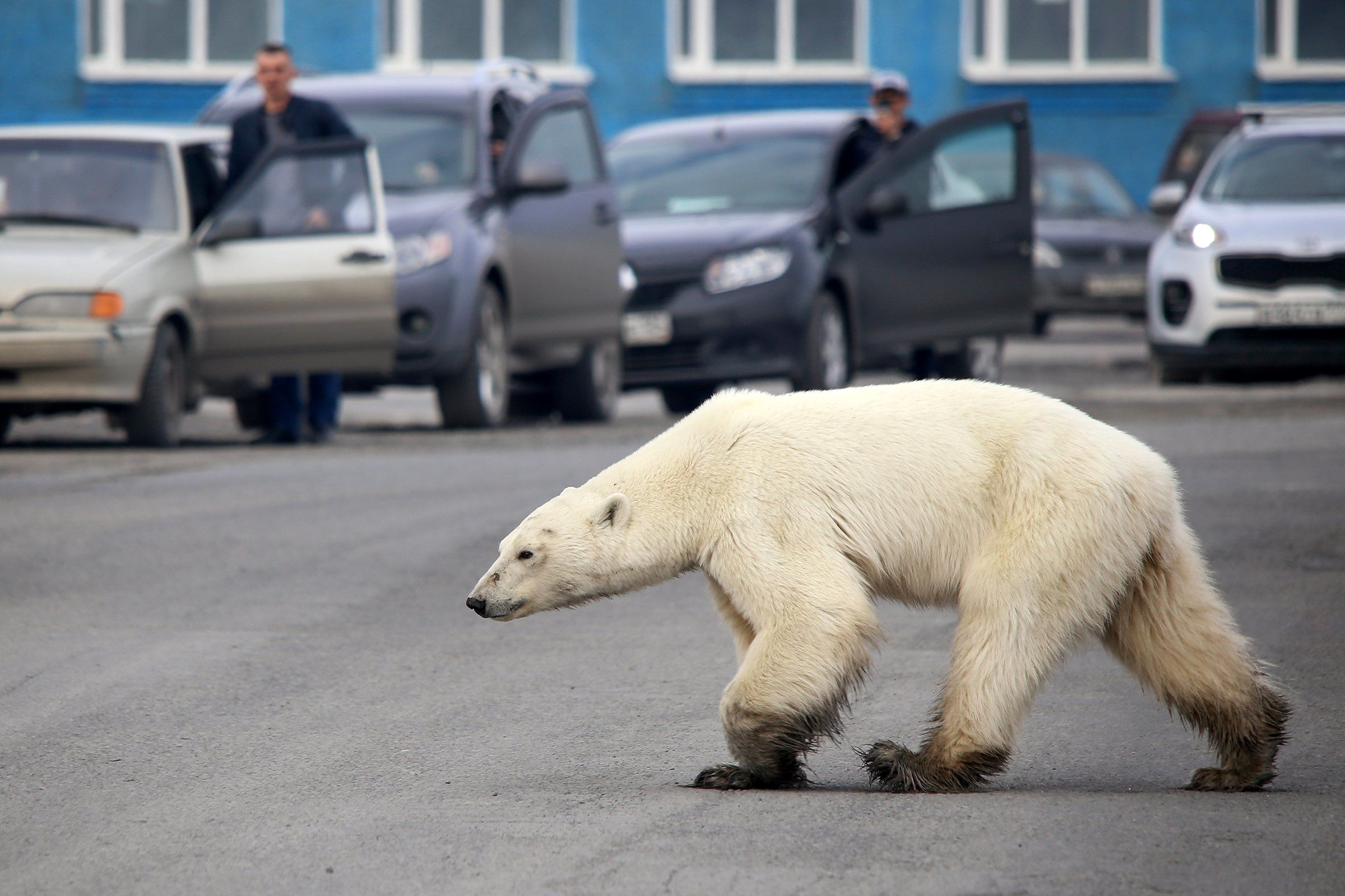 A stray polar bear walks on a road on the outskirts of the Russian industrial city of Norilsk in June. The hungry bear was said to be hundreds of miles from its natural habitat.