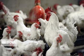 مرغ گران می شود؟