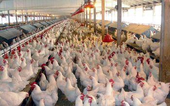 شناسایی عامل اصلی رسیدن قیمت مرغ به کیلویی 20هزار تومان