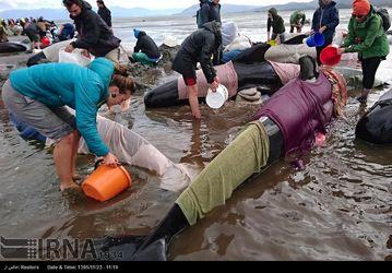 تلاش برای نجات 100 نهنگ در نیوزیلند