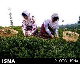 اختصاص بودجه برای به زراعی باغات چای