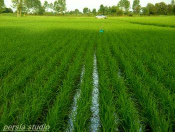 افزایش تولید برنج، کاهش تولید گندم