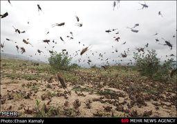 آخرین گزارش ها از هجوم ملخ ها به کشور از زبان وزیر جهاد کشاورزی