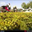 قیمت انواع انگور در میادین میوه و تره بار/انبه ؛گران ترین میوه