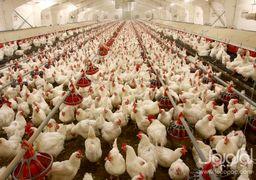 ماجرای مرغهای تریاکی چیست؟