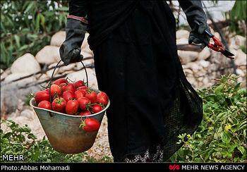 عراق از ایران ۱۰۰ میلیون دلار گوجه و هندوانه خرید
