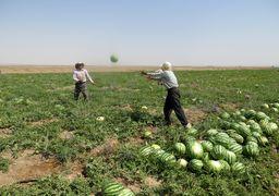علت برگشت خوردن هندوانه های صادراتی ایران به عمان مشخص شد