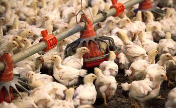 شناسایی عامل افزایش قیمت مرغ توسط نایبرئیس کمیسیون کشاورزی مجلس