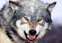 فروش گرگ به عنوان حیوان خانگی در ایران! +  عکس و قیمت