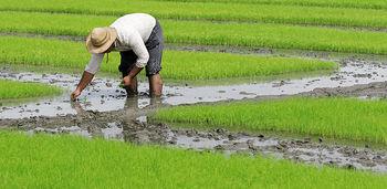 برنج  ایرانی از سال ۹۴ گواهی سلامت می گیرد