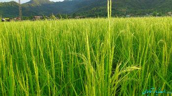 تولید برنج در جنوب صرفه اقتصادی ندارد