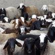 گوشت گوسفند قربانی در بازار کیلویی چند قیمت خورد؟