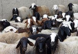 تاکید بر برخورد قاطع با «سلطان گوسفند» !