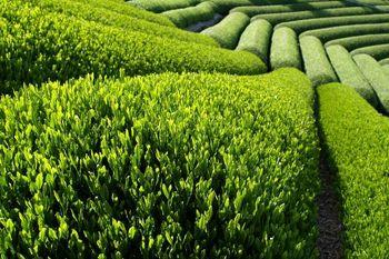 افزایش 70 درصدی قیمت چای ایرانی در بازار