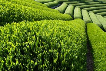 خرید 78 هزار تن برگ سبز چای از چایکاران شمال کشور