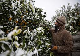 خسارت برف به باغ های مرکبات مازندران