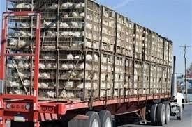 توقیف 2.5 تن ضایعات غیربهداشتی مرغ در محلات