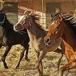 خون اسب کرونا را درمان می کند؟