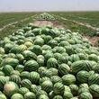 200 هزار تن محصول هندوانه نابود شد