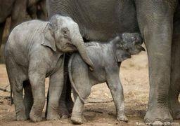 فیلها در ریاضیات سرآمد حیوانات دیگر هستند