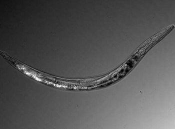 دانشمندان یک کرم با 3 جنسیت کشف کردند