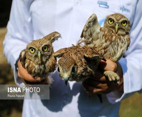 گزارش تصویری آزادسازی۶۰ پرنده شکاری در طبیعت همدان